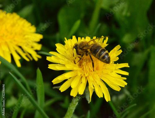 пчелка на одуванчике