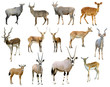 antelope collection isolated