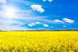 Leinwandbild Motiv Rapsfeld bei sonnigem Wetter