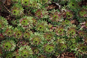 Background From Leaves Decorative Saxifraga