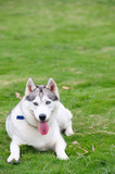 Alaskan Malamute dog lying on lawn