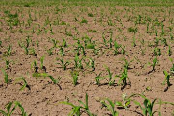 Junge Pflanzen auf einem Feld