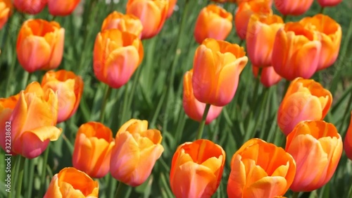 orange tulips, closeup of beautiful flowerbed, Yuri Gagarin sort