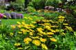 Gemswurz im Garten