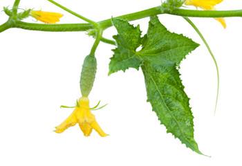 Cucumber liana fragment