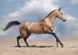 dun akhal-teke horse on a desert