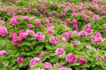 pink peony flower garden