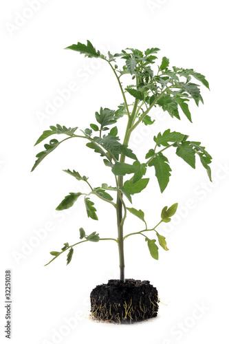 plant de tomates photo libre de droits sur la banque d. Black Bedroom Furniture Sets. Home Design Ideas