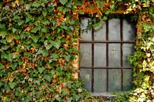 Krata okno i bluszcz