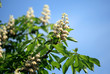 Flowering branches of chestnut (Aesculus hippocastanum) on the b