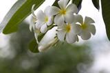 Plumeria flowers white.