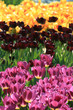 colorfull tulips