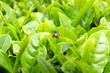 お茶畑のテントウムシ/無農薬