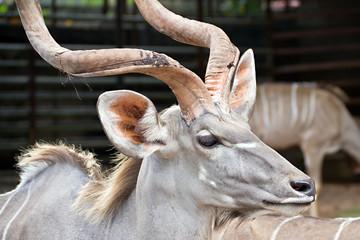 Greater kudu