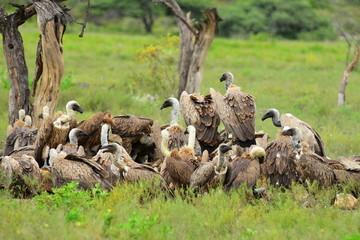 spread for vultures,Etosha park,Namibia