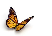 "Постер, картина, фотообои ""butterfly"""