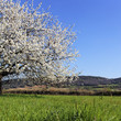 beautiful tree with white flowers on grenn grass