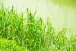 Frühling: Schilf am Wasser - natürliche Frische