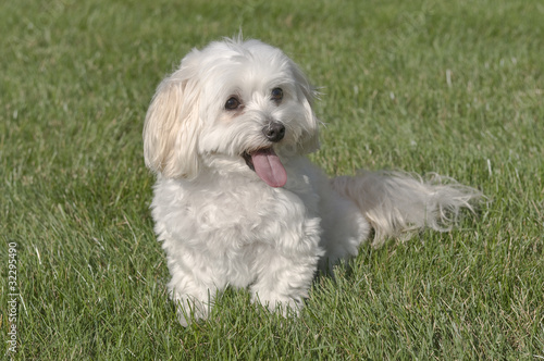 Maltese Toy Poodle Mixed Puppy Sitting In Grass de Jim Vallee, Photo ...