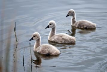 Three black swan cygnets swimming in unison