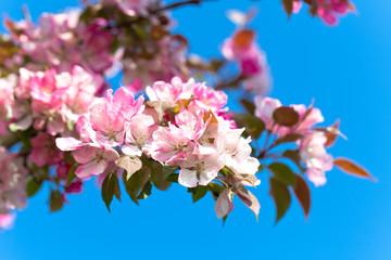 kirschblüte frühling