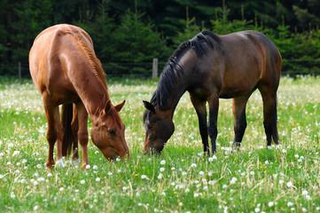 Hannoveraner Pferde