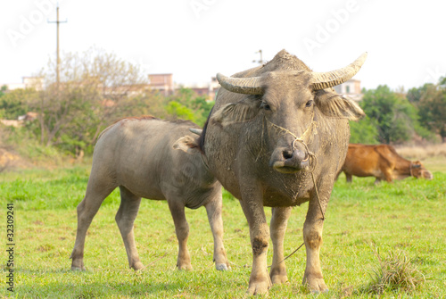 female water buffalo and her calf