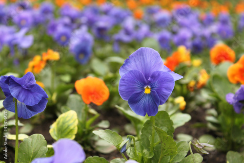 flower-bed of viola