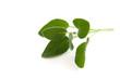Salbei - Würz- und Heilpflanze