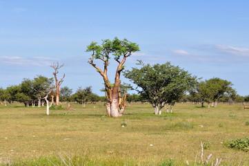 moringa tree in african savanna,Namibia,Etosha park