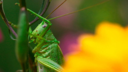 Grasshopper on the stem of the Aquilegia flower. Macro.