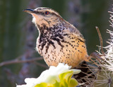 Cactus Wren feeding on a Saguaro Flower