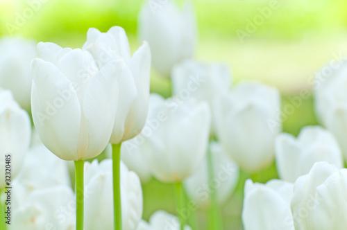 biale-tulipany