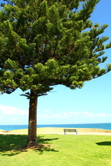 Araucaria tree in Perth, Australia