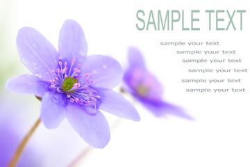 wood violet flower