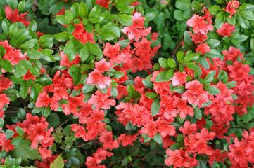 Rote Strauch. Blütezeit