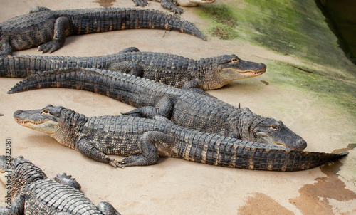 Many Nile crocodiles