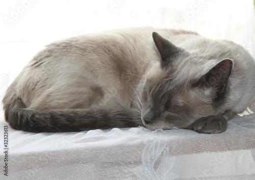 Sleeping siamese cat