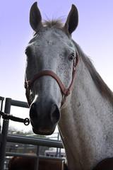 headhorse