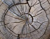 Split tree trunk