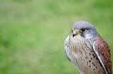 Male kestrel bird of prey raptor during falconry display poster