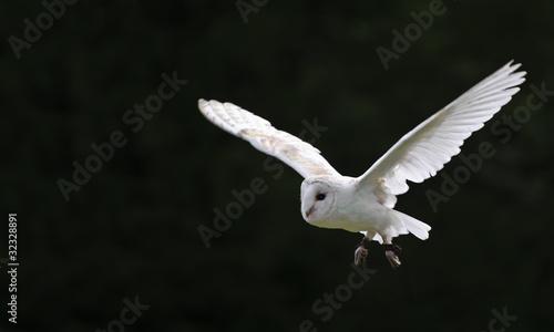 Fotobehang Uil Barn owl bird of prey in falconry display