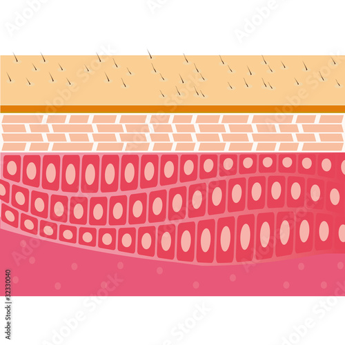 skin cross-section anatomy medical vector illustration