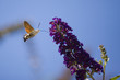 Hummingbird hawk moth flying near blooming flower
