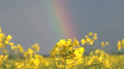canola field in rainbow