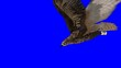 flying eagle on isolate blue-screen