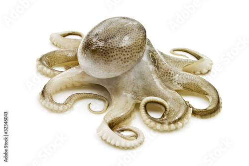 Small octopus on white background