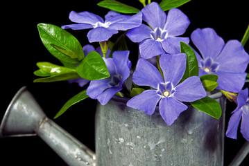 Purple Myrtle