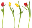 Four elegant tulips