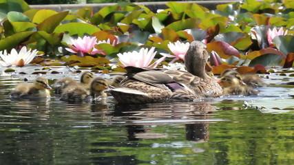 Entenfamilie im Teich